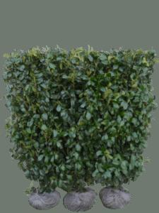 Kirsebærlaurbær Etna