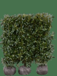Kirsebærlaurbær Herbergii - Klippet
