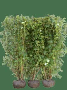 Blærespiræa