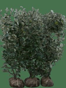 Sølvrøn