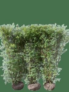 Buketspiræa