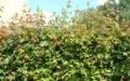 Acer campestre hæk