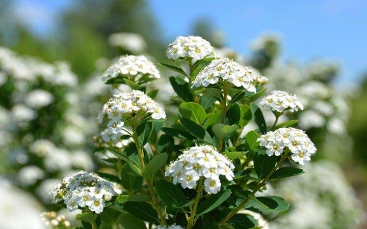 Spiræa Snowmound blomster