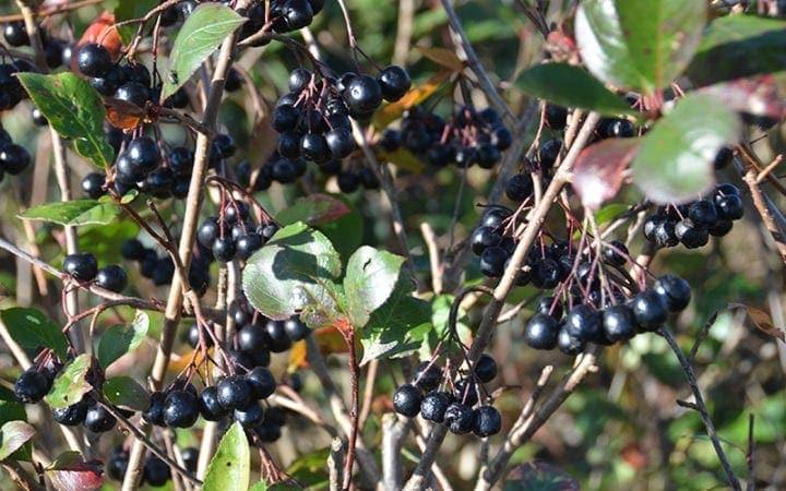 Aronia melanocarpa bær
