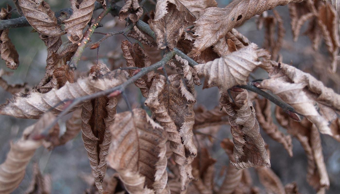 avnbøg blad